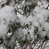 Juniper branches and snow - Jaunuary 16, 2013