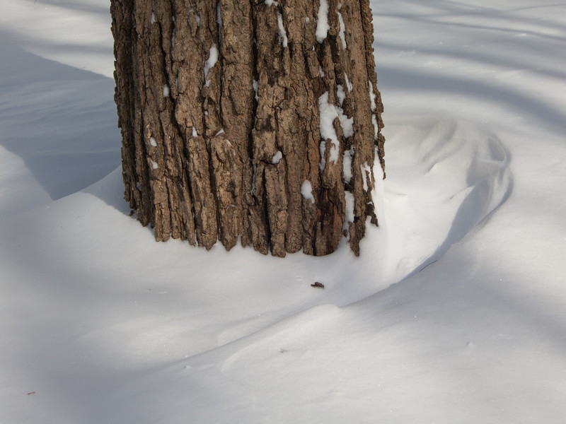 Snowdrifts at base of sugar maple after blizzard