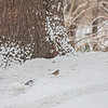 White throated sparrows in snowstorm - January 28, 2013 - Asahi Pentax 85mm f1.9 lens