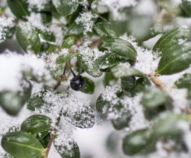 Boxwood Berry in Fresh Fallen Snow - January 28, 2013 - Asahi Pentax 85mm f1.9 lens