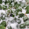 Boxwood Berry in Fresh Fallen Snow - January 28, 2013 - Asahi Pentax 85mm f1.9 lens