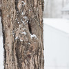 Sugar maple in snowstorm - January 28, 2013 - Asahi Pentax 85mm f1.9 lens