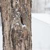 Sugar maple in snowstorm - January 28, 2013 - Asahi Pentax 85mm f1.9 lens