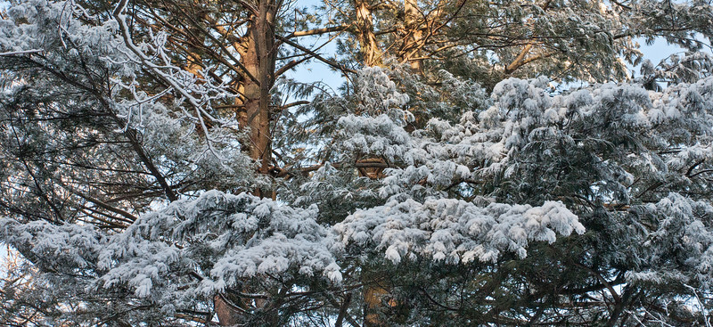 Valentine's Day 2013 Early Morning Snow on White Pine Boughs
