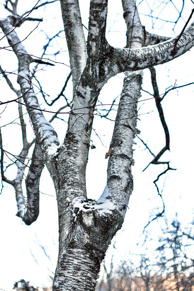 White birch after dusting of snow - January, 2013