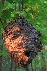 Bald-faced Hornet nest- Stanford Township Park