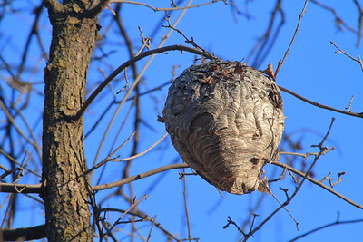 Black and White Paper Wasp Nest- TS Roberts Bird Sanctuary