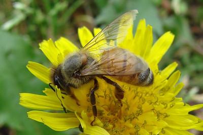 A female worker bee