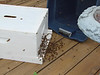 The bees were captured in the blue plastic box and then released into the hive box.