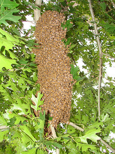 This swarm of bees was found and captured less than ten feet behind my back fence on April 27, 2009.