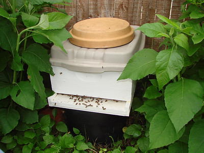 Here is the hive box after all of the captured bees got inside.