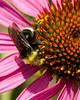 Echinacea2077