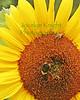 Bees8579 copy