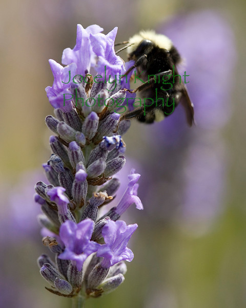LavenderBmblbee8892