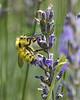LavenderBee2071