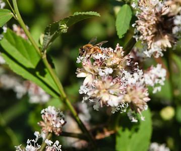 Bees in the Backyard, Saturday 8 October 2016. Photos by Des Thureson - http://disci.smugmug.com