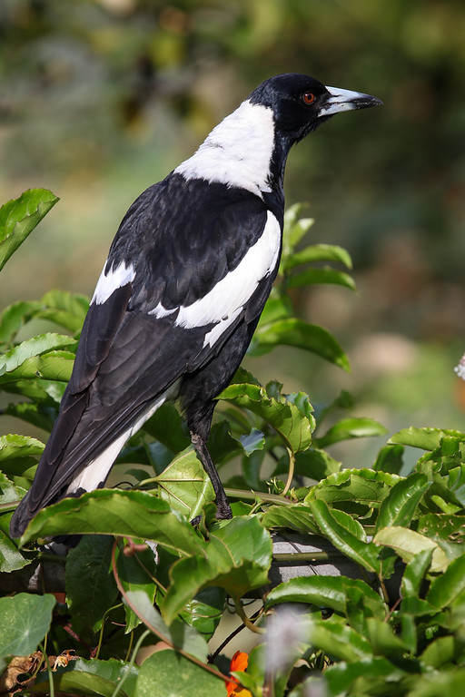 """Magpie - Bees in the Backyard, Saturday 8 October 2016. Photos by Des Thureson - <a href=""""http://disci.smugmug.com"""">http://disci.smugmug.com</a>"""