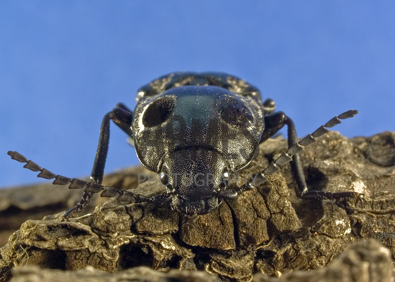 Eyed Click Beetle (Alaus oculatus)<br /> Raleigh, North Carolina, USA