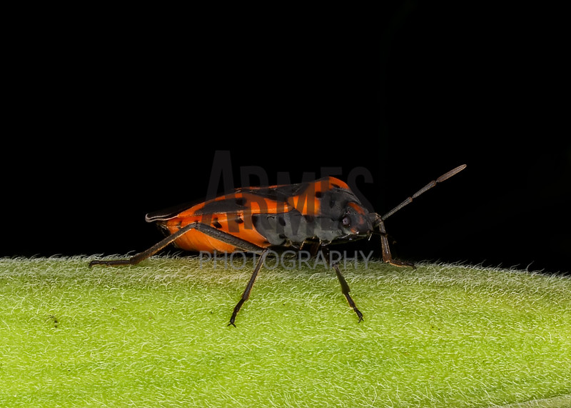 Small Milkweed Bug (Lygaeus kalmii)<br /> Raleigh, North Carolina, USA