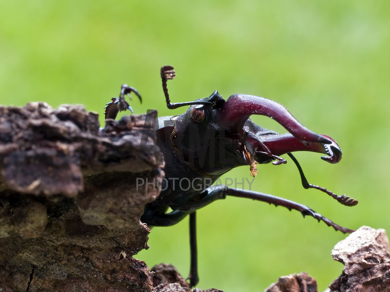 Stag Beetle (Lucanus cervus) - male<br /> London, United Kingdom