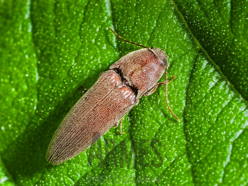 Click Beetle (Elateridae)<br /> Raleigh, North Carolina, USA