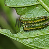Sawfly larvae<br /> Raleigh, North Carolina, USA