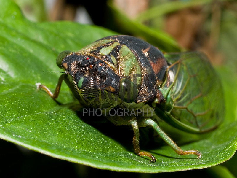 Swamp Cicada (Tibicen tibicen)<br /> Raleigh, North Carolina, USA