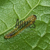 Sawfly larva<br /> Raleigh, North Carolina, USA