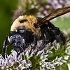 Eastern Carpenter Bee (Xylocopa virginica) - Female<br /> Raleigh, North Carolina, USA