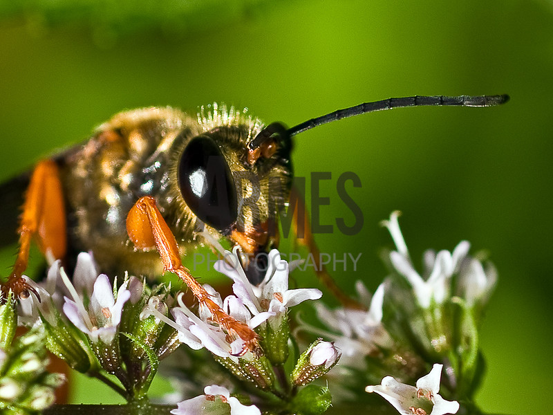 Great Golden Digger Wasp (Sphex ichneumoneus)<br /> Raleigh, North Carolina, USA