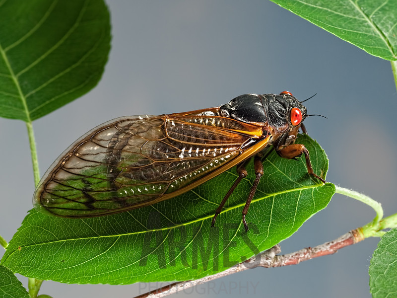 Periodical Cicada ( Magicicada sp.), Raleigh, North Carolina, USA