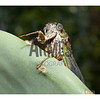 Swamp Cicada (Tibicen tibicen)<br /> Raleigh, North Carolina