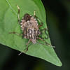 Brown Marmorated Stink Bug (Halyomorpha halys)<br /> Raleigh, North Carolina, USA