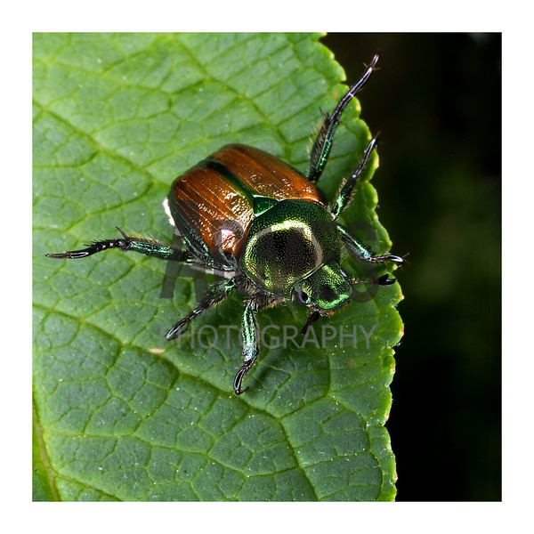Japanese beetle (Popillia japonica)<br /> Raleigh, North Carolina, USA