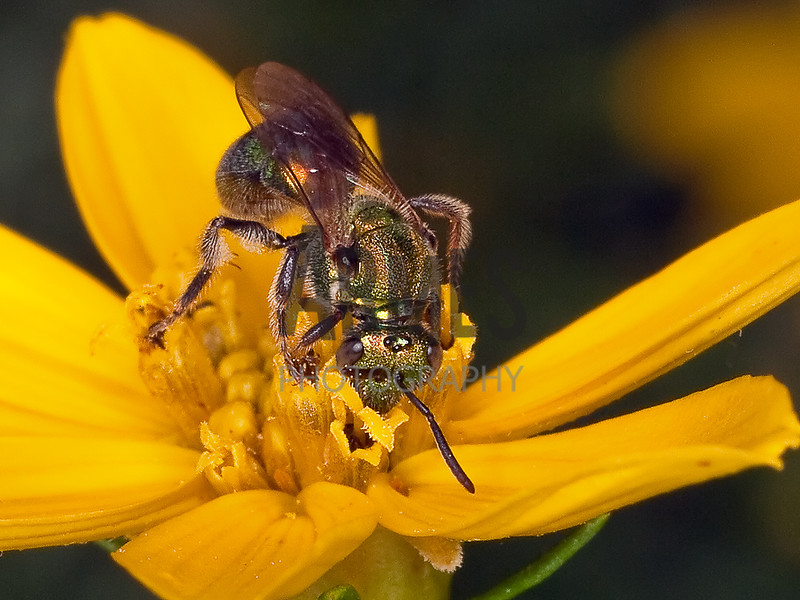 Sweat Bee (Agapostemon sp.)<br /> Raleigh, North Carolina, USA