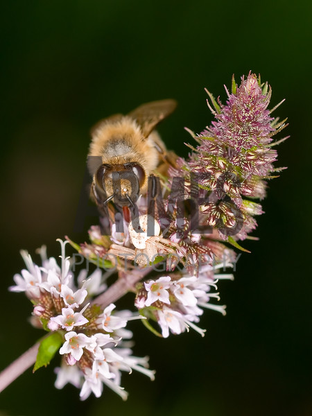 Honeybee (Apis mellifera) and Crab Spider<br /> Raleigh, North Carolina, USA