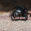 Dung Beetle (Geotrupes sp.)