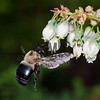 Eastern Carpenter Bee (Xylocopa virginica) foraging on blueberry flowers<br /> Raleigh, North Carolina, USA