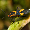 Large Milkweed Bug (Oncopeltus fasciatus)<br /> Raleigh, North Carolina, USA