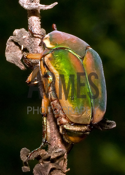 Green June Beetle (Cotinis mutabilis)<br /> Raleigh, North Carolina, USA