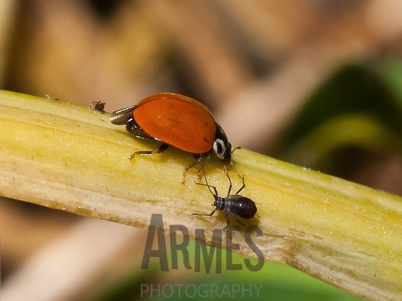 """Friend & Foe"". Ladybird beetle eying it's aphid prey<br /> Raleigh, North Carolina, USA"