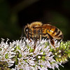 Honeybee (Apis mellifera)<br /> Raleigh, North Carolina, USA