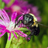 Eastern Carpenter Bee (Xylocopa virginica) - Female