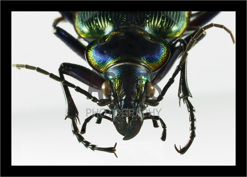 Caterpillar Hunter (Calosoma scrutator)