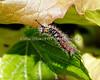 Western Tussock Moth Caterpillar