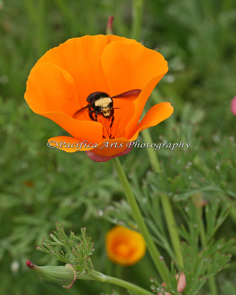 Bumble Bee working in a patch of California Poppies
