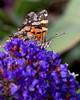 Painted Lady butterfly (Genus: Vanessa)
