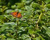 Monarch Butterfly (another 100-400 zoom shot - too far away to get close to)