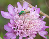"""Here's a top view of the same """"Sweat Bee"""". (possible family is Halictidae and genus, agapostemon)"""