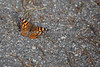 Painted Lady Butterfly, West Coast Lady  (taken with a 100-400 zoom, so it's not too bad).